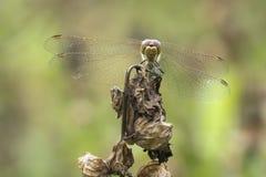 Błądząca wężowa Sympetrum vulgatum samiec Zdjęcie Royalty Free