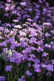 Błękitów śródpolni goździki Fotografia Royalty Free