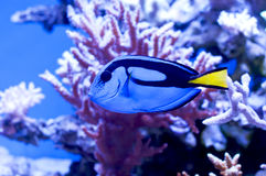 Błękitów korale i ryba Fotografia Royalty Free