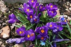Błękitów kwiaty z zieleń trzonami otaczającymi kamieniami, bukiet obrazy stock