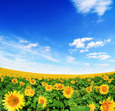 błękit śródpolni nieba słońca słoneczniki Zdjęcie Royalty Free