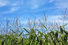 błękit śródpolny kukurydzy niebo fotografia stock