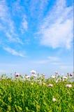 błękit śródpolny maczków niebo Obraz Stock