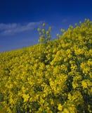 błękit śródpolny rapeseed niebo Zdjęcia Royalty Free