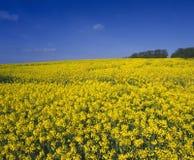 błękit śródpolny rapeseed niebo Fotografia Stock