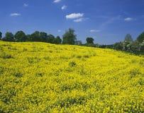 błękit śródpolny rapeseed niebo Zdjęcie Stock