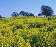 błękit śródpolny rapeseed niebo Zdjęcie Royalty Free