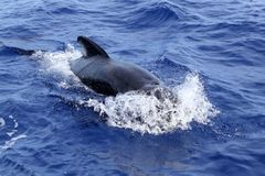 błękit śródziemnomorski bezpłatny otwiera pilotowego dennego wieloryba fotografia stock