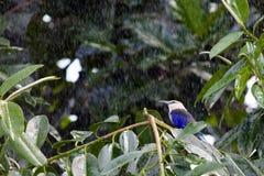 Błękit Bellied rolownik w deszczu Obrazy Royalty Free