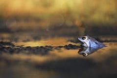 Błękit Cumuje żaby zdjęcia royalty free