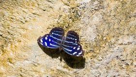 Błękit Falowy motyli Myscelia Cyaniris Fotografia Royalty Free