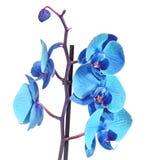 Błękit gałęziasta orchidea kwitnie, Orchidaceae, Phalaenopsis znać jako ćma orchidea, skracający Phal Obrazy Stock