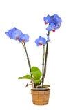 Błękit gałęziasta orchidea kwitnie, waza, flowerpot, Orchidaceae, Phalaenopsis znać jako ćma orchidea, skracający Phal Obrazy Royalty Free