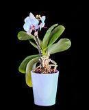 Błękit gałęziasta orchidea kwitnie, waza, flowerpot, Orchidaceae, Phalaenopsis znać jako ćma orchidea, skracający Phal Obrazy Stock
