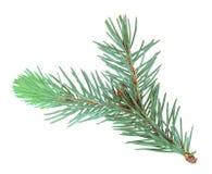 błękit gałęziastego futerka pojedynczy drzewo Fotografia Royalty Free