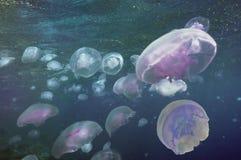 błękit grupowy jellyfish światło Obraz Stock