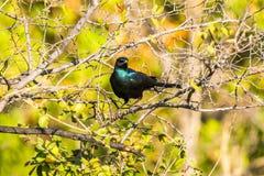 Błękit iryzuje ptaka, burchell ` s szpaczek, siedzi na drzewie Fotografia Stock