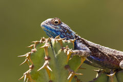 Błękit jaszczurki kierowniczy kaktus Obrazy Stock