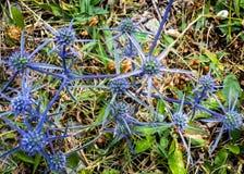Błękit kwitnie Eryngium planum w łące fotografia royalty free