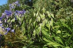 Błękit kwitnie i ziarna leluja Nil Obraz Royalty Free