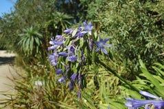 Błękit kwitnie i ziarna leluja Nil Zdjęcia Royalty Free