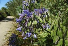 Błękit kwitnie i ziarna leluja Nil Zdjęcie Stock