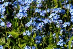 Błękit kwitnie ja Zdjęcia Stock