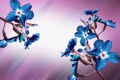 Błękit kwitnie okwitnięcia Obraz Royalty Free