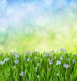 błękit kwitnie trawy zieleni myosotis fotografia stock