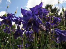 Błękit kwitnie w wiośnie Aquilegia, babci kolombina lub czapeczka lub fotografia royalty free