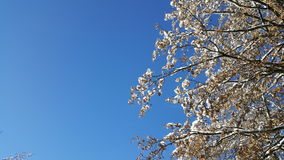 Błękit lubi Snowtree Zdjęcie Stock