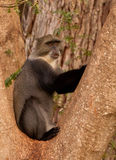 błękit małpa zdjęcia stock