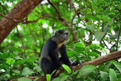 Błękit małpa, Tanzania, Afryka Obrazy Royalty Free