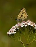 błękit miedzianego lycaena okopcony tityrus Fotografia Royalty Free