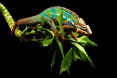 Błękit pantery prętowy kameleon Obraz Stock