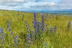 błękit pola kwiat Zdjęcia Royalty Free