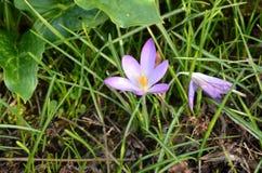 Błękit przyglądająca się trawa! fotografia royalty free