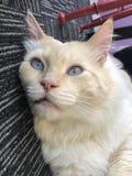 Błękit Przyglądający się kot Kłaść w dół fotografia royalty free