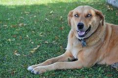 Błękit Przyglądający się pies Obrazy Royalty Free