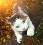 Błękit przyglądający się siberian kot ostrzy swój pazury Fotografia Stock