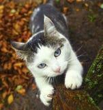 Błękit przyglądający się siberian kot ostrzy swój pazury Fotografia Royalty Free