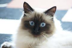 Błękit Przyglądający się Syberyjski Lasowy kot Obrazy Stock