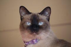Błękit przyglądający się Syjamski kot obraz royalty free