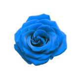 Błękit róża Obraz Royalty Free