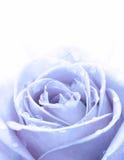 Błękit róża Zdjęcie Stock