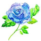 Błękit róża. Akwarela obraz. Fotografia Royalty Free