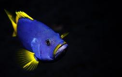 Błękit ryba Obrazy Royalty Free