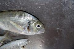 Błękit ryba morze śródziemnomorskie Obraz Stock
