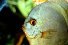błękit rybi śmieszny warg target1795_1_ Zdjęcia Royalty Free