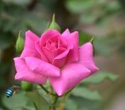 Błękit skrzyknący pszczoły latanie wzrastał Obrazy Stock